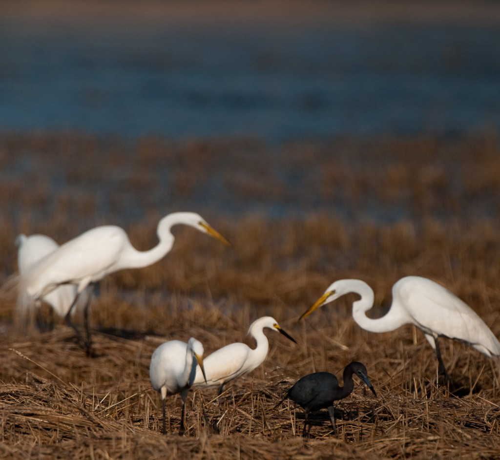 Great and Snowy egrets and Little Blue heron, T. Rollins