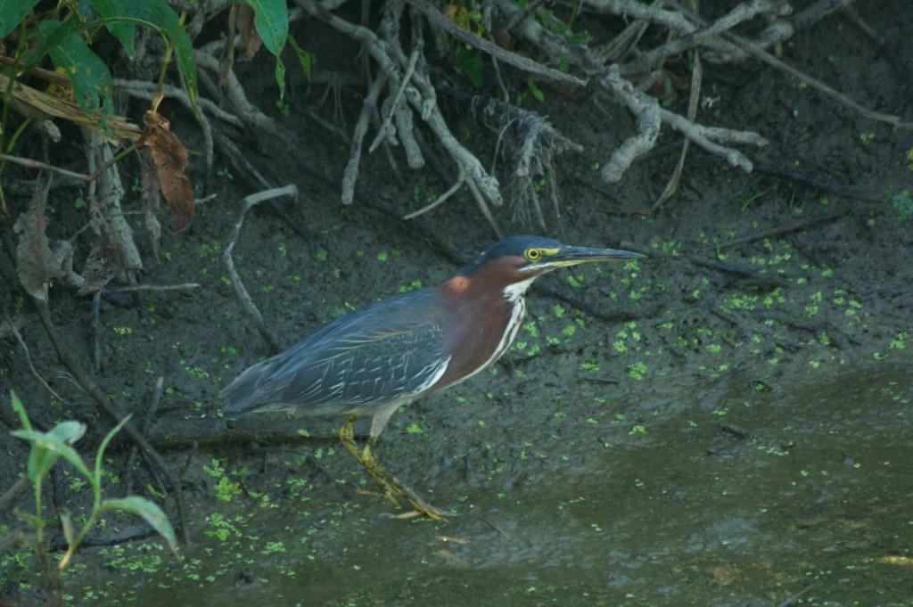 Green heron, P. DauBach