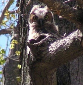 Great Horned Owl fledgling, J. Triana photo