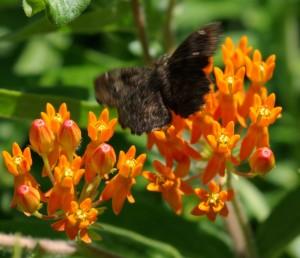 butterfly & milkweed, P. DauBach
