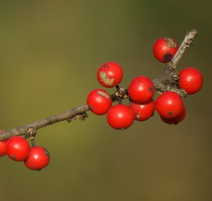 holly berries, P. DauBach