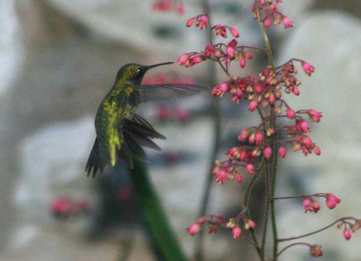 Hummingbird & Coral Bells, p. Feldker