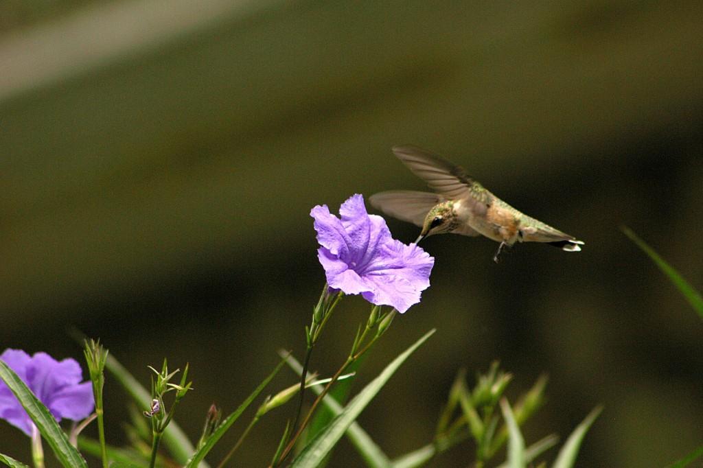 Hummingbird & Ruellia, P. Feldker