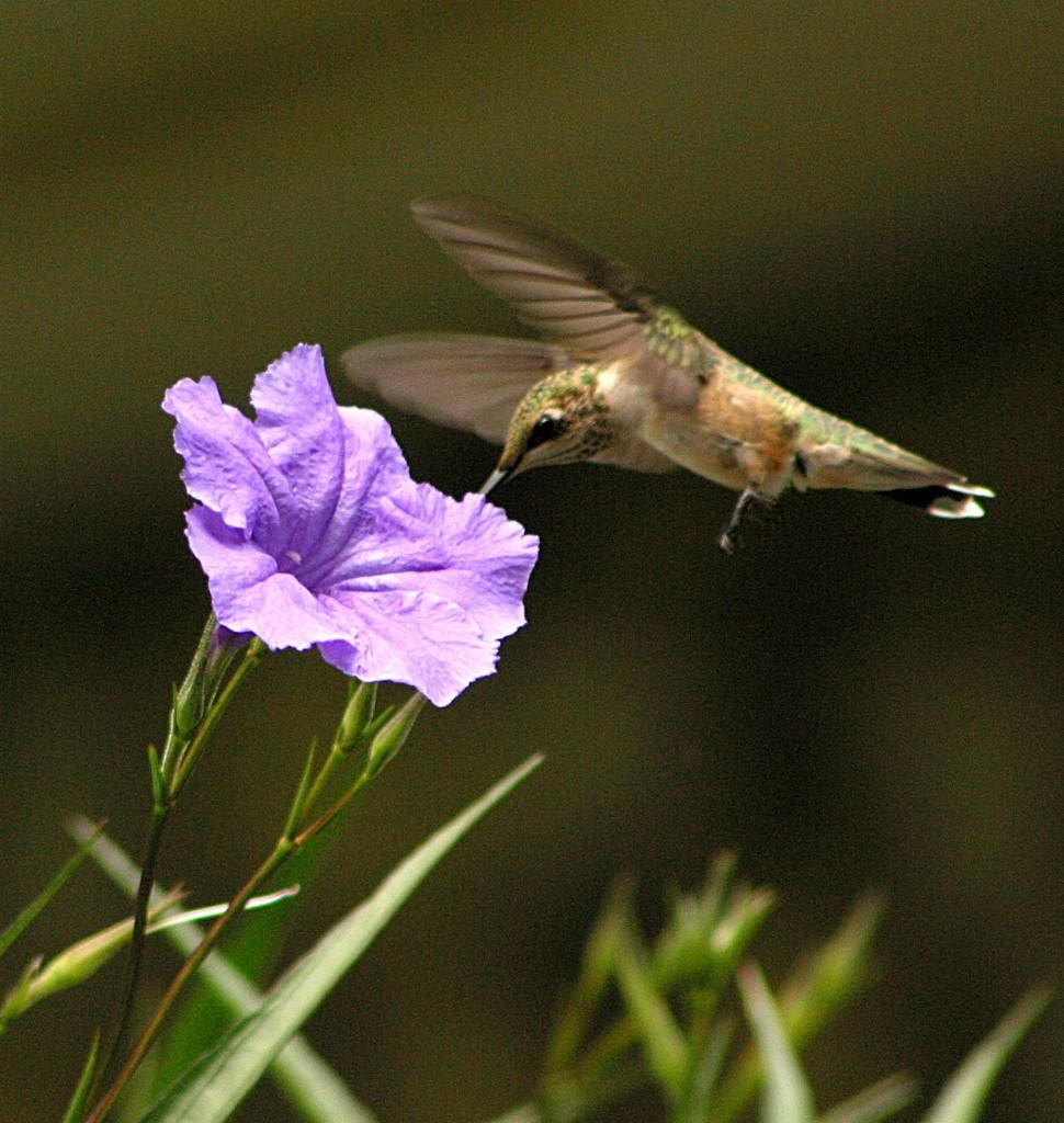 hummingbird, P. Feldker