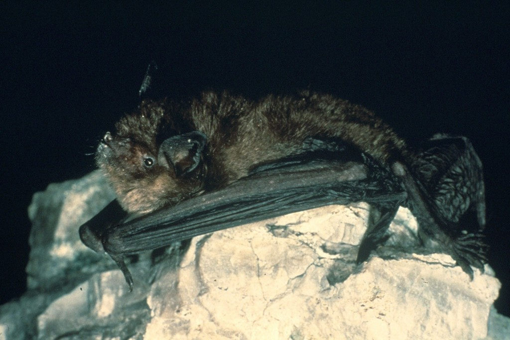 Indiana bat, J. Payne