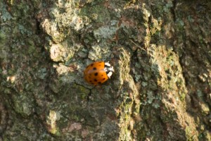 lady-bug on tree bark, P. DauBach