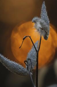 Milkweed silhouette, T. Rollins