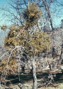 Mistletoe, Forest Service