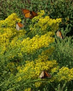 Monarchs & Goldenrod, P. DauBach