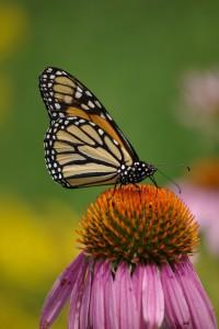Monarch & pale prairie coneflower, P. DauBach