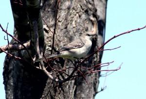 mockingbird, P. Feldker