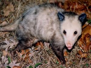 opossum, P. Feldker