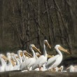 Pelicans, close-up, T. Rollins