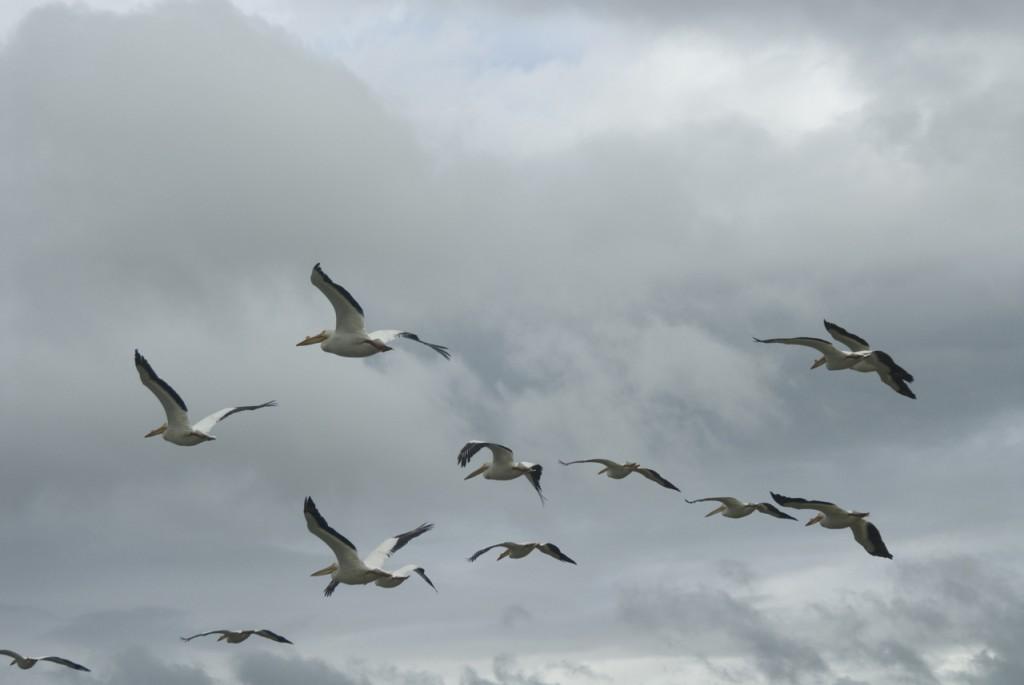 pelicans in flight, T. Rollins