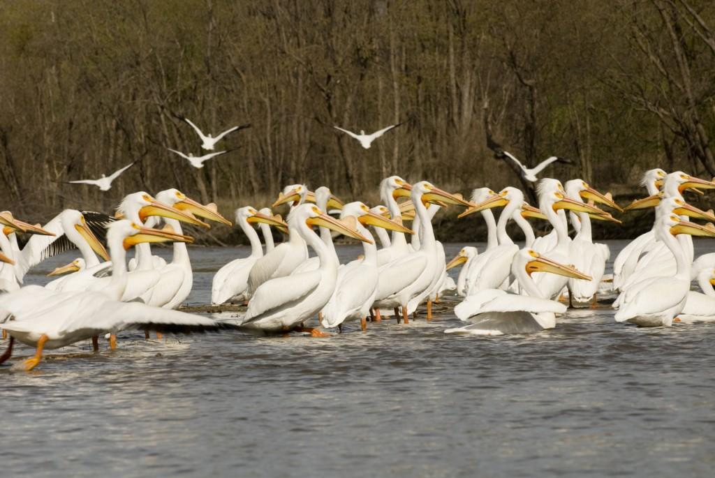 pelicans, T. Rollins