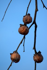 persimmon fruits, P. DauBach