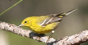 Pine warbler, J. Dell