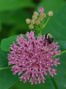Purple milkweed & bee, P. DauBach