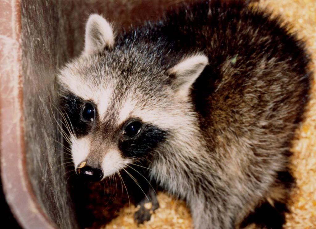 raccoon, P. Feldker