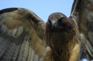 Redtail hawk, T. Rollins