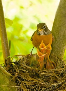 Robin with nestlings, T. Rollins