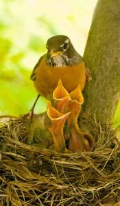 robin feeding nestlings, T. Rollins