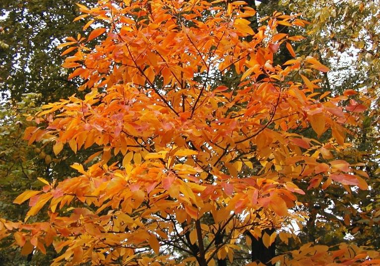 sassafras tree. Dow Gardens