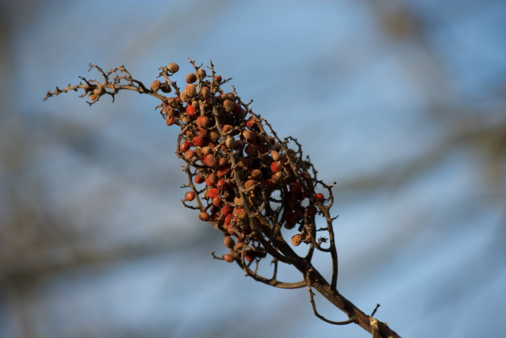 smooth sumac fruits, P. DauBach