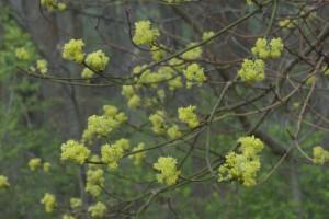 Spicebush Flowers, T. Rollins