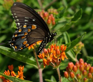 Spicebush swallowtail & milkweed, P. DauBach