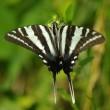 Swallowtail butterfly, P. DauBach