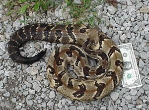 timber rattlesnake, S. Ballard