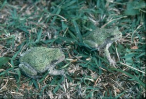 tree frogs, S. Ballard