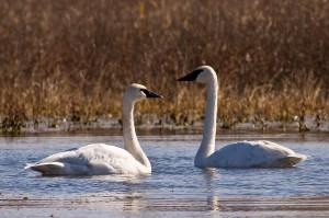 trumpeter swans, D. Jacobsen