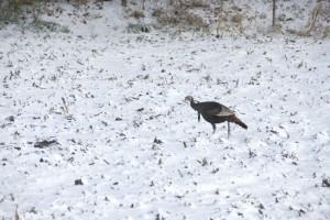Turkey in snow, T. Rollins