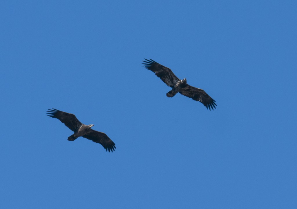 Two bald eagle immatures, T. Rollins