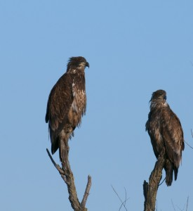 Two bald eagle imms., T. Rollins