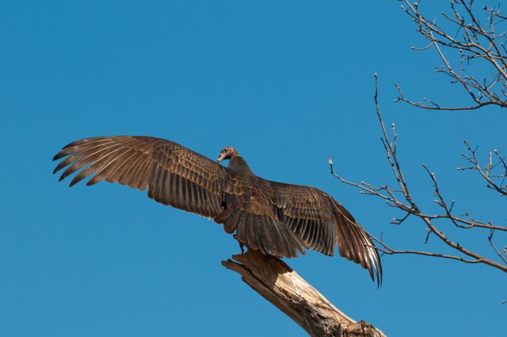 vulture, T. Rollins