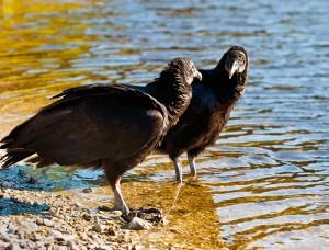 vultures, T. Rollins