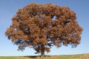 oak, P. DauBach