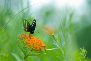 butterfly on butterfly weed, T. Rollins