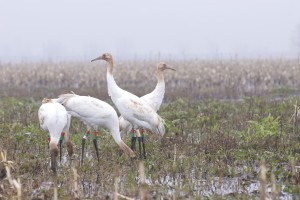 whooping cranes, T. Rollins