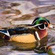 Wood duck, T. Rollins