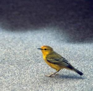 yellow warbler, A. Viola