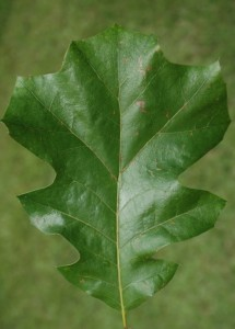 black oak leaf, C. Evans