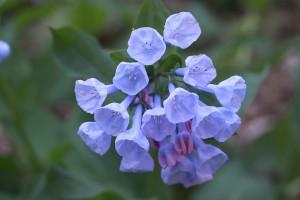 bluebells, P. Feldker