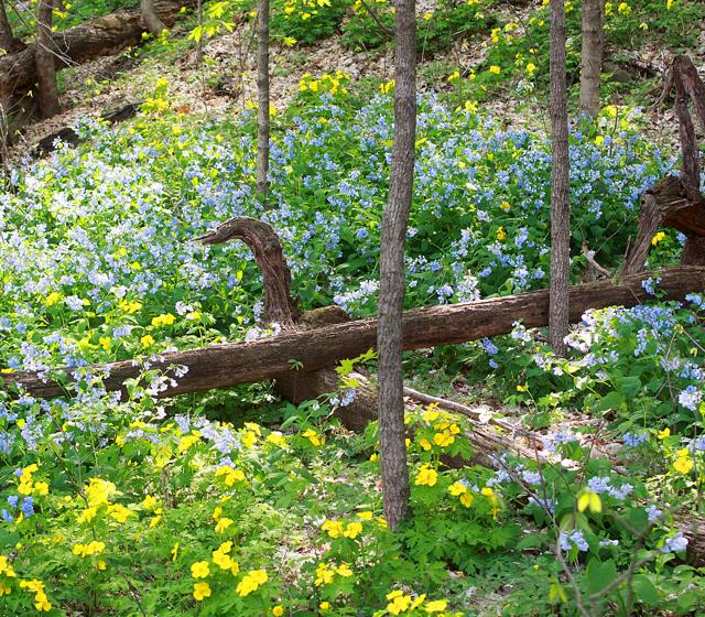 bluebells & celandine poppies, P. Feldker