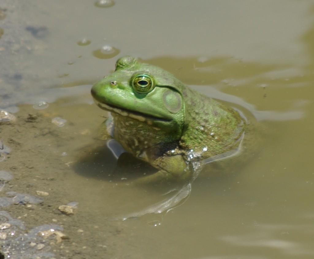 Bullfrog, P. DauBach