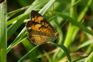 butterfly on sedge, P. DauBach