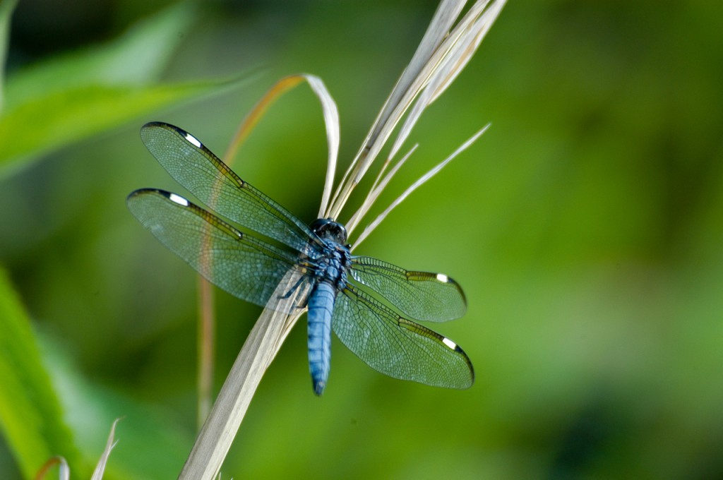 dragonfly, T. Rollins